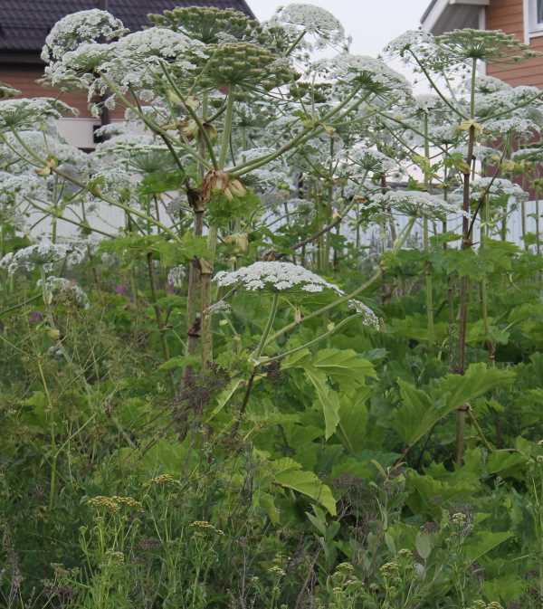 Римляне называли Борщевик Гераклом, это очень жизнелюбивое и сильное растение, которое крайне сложно вывести с мест произрастания.